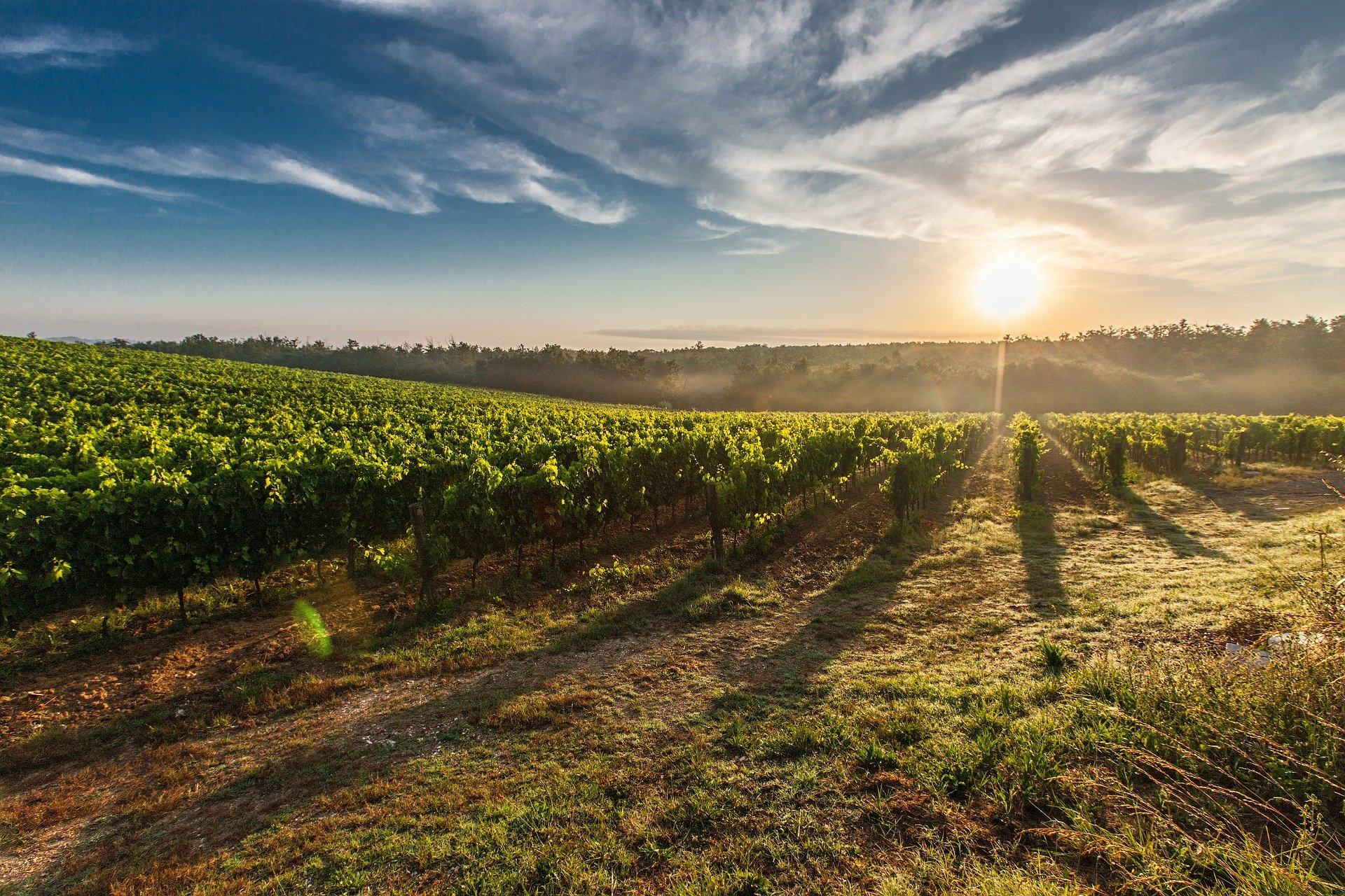 Lutte obligatoire contre la flavescence dorée de la vigne et son vecteur en région PACA